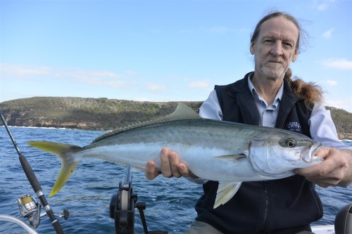 harbour kingfish